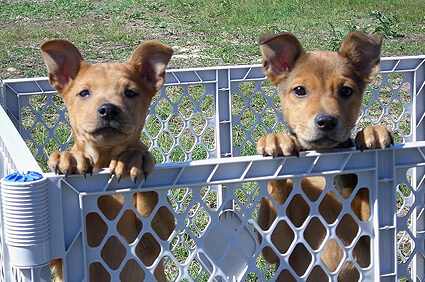 AFHS Pups