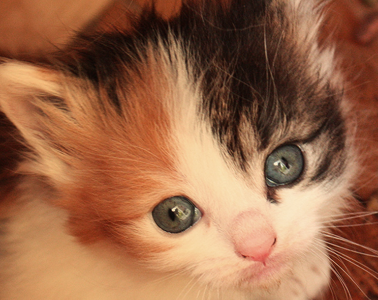 Cute calico kitten looking up