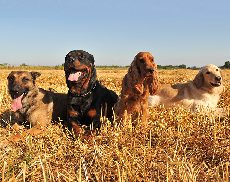 4 dogs laying in field after playing