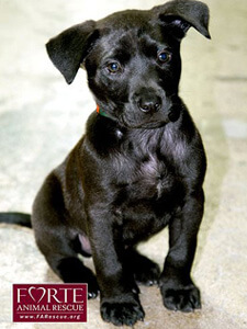 A black puppy Forte Animal Rescue