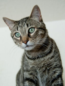 A grey striped cat from Companion Animal Rescue & Medical Assistance Inc.