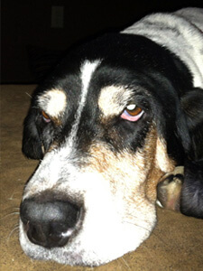 A Basset Hound from All Bassets Cherished Basset Hound Rescue