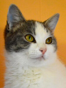 a cat from The Dahlonega Lumpkin County Humane Society