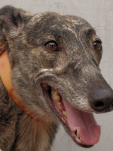 A Greyhound rescue from FastFriends Greyhound Adoption