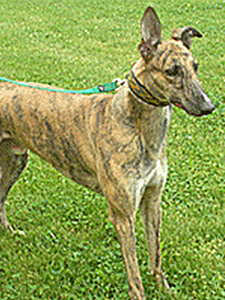A Greyhound rescue dog from Going Home Greyhound