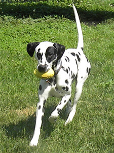 A Dalmation rescue from Spotted Dog Dalmation Rescue