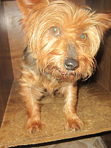 A small breed dog from Stickney's Toy Breed Rescue